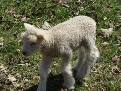 bandit's lamb 010