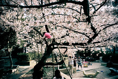tree climbing (moaan) Tags: life leica girl digital kid spring m8 april  sakura cherryblossoms 2008 cherrytree tomboy 21mm superangulon inlife f34 leicasuperangulon21mmf34 gettyimagesjapanq1 gettyimagesjapanq2