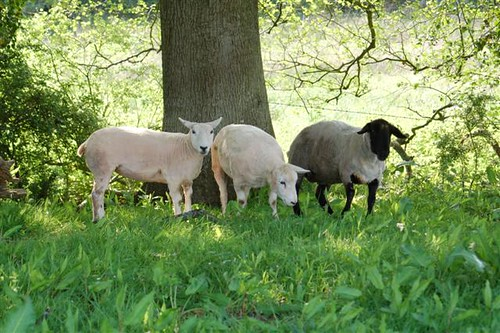 Shorn Ewes