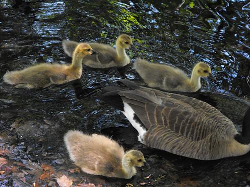 Canada Goose Family Too