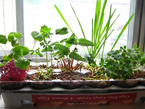 Egg carton sprouts