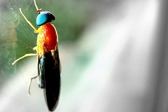 Fly (Jess Gutirrez Gmez) Tags: blue orange color macro colombia jesus bee gutierrez medellin sonydscw90 colourartaward