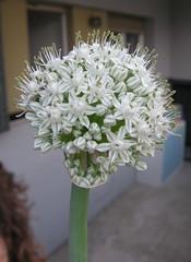cipolla (4)
