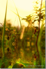 Phantasmagoric (Shabbir Ferdous) Tags: light sunset summer green art nature water lago photographer surreal luce riflesso bangladeshi spiga phantasmagoric canonef50mmf18ii fogliame canoneosrebelxti shabbirferdous wwwshabbirferdouscom shabbirferdouscom
