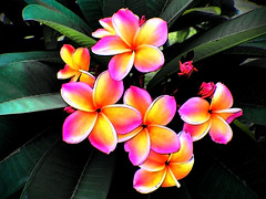 Plumeria at a glance (Poramin T.) Tags: trip travel plant flower nature beauty catchycolors asia southeastasia plumeria blossoms frangipani oleander masterphotos southeastasiatravel   geoventure