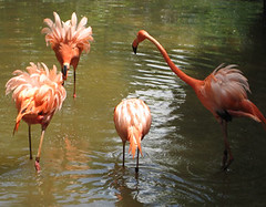 A Flamingo Disagreement