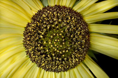 Spiral into Sunflower