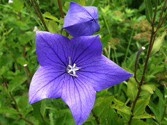 Balloon flower (hamapenguin) Tags: flower nature purple hakone balloonflower    thebiggestgroup impressedbeauty boranicalgarden