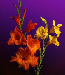Gladiolus Bouquet (by photoholic1)