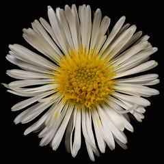 Aster novae-angliae 'Herbstschnee' (Britta's photo world) Tags: white plant macro britta aster flowe onblack 60mmf28dmicro asternovaeangliae niermeyer michelmasdaisy rauhblattaster asternovaeangliaeherbstschnee