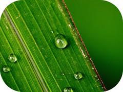 (001FJ) Tags: macro green water leaves canon droplets leaf super powershot dew soe dcr250 raynox s3is mywinners platinumphoto impressedbeauty ultimateshot 001fj goldstaraward
