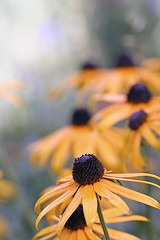 In my garden there is a large place for sentiment. My garden of flowers is also my garden of thoughts and dreams. The thoughts grow as freely as the flowers, and the dreams are as beautiful. (~K~) Tags: flower canon garden 350d bokeh canonrebelxt blackeyedsusan hbw canonef100mmf28macrousm bokehwednesday