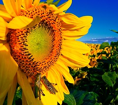 Sun Bathing (Ken Yuel) Tags: flower beauty winnipeg sunflowers sunbathing grasshoppers cubism macrolicious flickrsbest bej golddragon abigfave tokina1017mm anawesomeshot colorphotoaward ultimateshot goldstaraward excapturemacro excellentsflowers life~asiseeit explorewinnersoftheworld mimamorflowers vosplusbellesphotos flickrflorescloseupmacros panoramafotogrfico groupsunflowers digitlagent dragondaggerphot theoriginalgoldseal