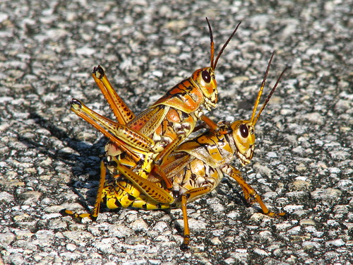 Locusts mating