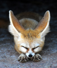Fennec fox (floridapfe) Tags: cute animal animals zoo nikon korea fox soe fennec everland  fennecfox d890 supershot golddragon mywinners platinumphoto ultimateshot overtheexcellence betterthangood