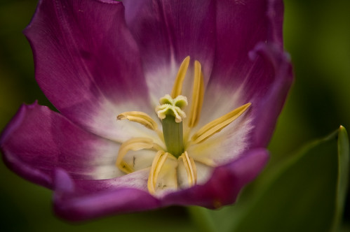 Centre of a purple tulip (by autumn_leaf)