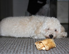 All Dinked out (Graustark) Tags: dog pet white animal puppy dinky ratapoo ratterrierpoodlemix