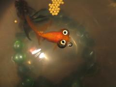 P'tit poisson bigleux (Thomas B. -_o) Tags: fish strange rouge aquarium bigeyes eau trouble poisson petit doré grosyeux bigleux