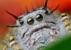 Adult Female Phidippus mystaceus Jumping Spider (Thomas Shahan) Tags: portrait macro face k vintage lens prime spider jumping eyes close asahi pentax takumar zoom head arachnid flash small 28mm tubes extension reversed dslr ist vivitar softbox dl f28 diffuser opo arachnology arthropod macrophotography bayonet salticid phidippus thyristor terser mystaceus entomolgy macrofoted macrolife justpentax