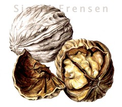 Walnuts (Sigrid Frensen) Tags: art pencil botanical drawing walnut nut coloured colouredpencil botanicalart