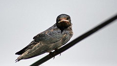 Hirondelle (laurent KB) Tags: swallow oiseau hirondelle schwalbe andorinha zwaluw golondrina rondine