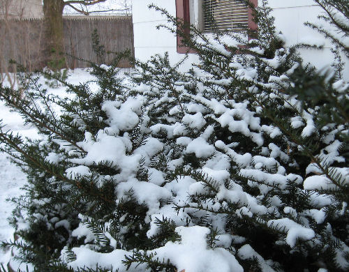 Snow on Yews