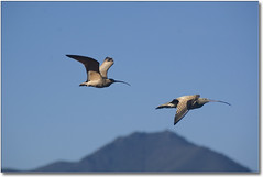A Pair of Curlews (Romair) Tags: california birds nikond70 wildlife wetlands sanfranciscobay marsh flyingbird instantfave marincountyca avianexcellence cortemaderamarsh onlythebestare marinij