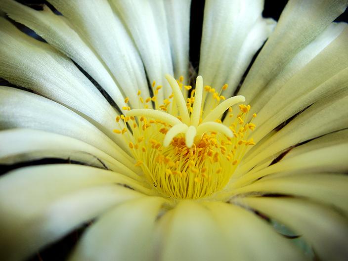 Summer Cacti Flowers 3116968048_b7a67b5424_o