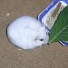 小松菜を食べるましろ