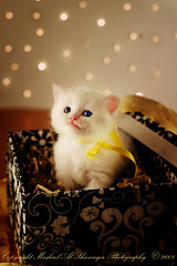 I'm Your Gift For 2009 (Mashael Al-Shuwayer) Tags: pet animal digital cat canon eos 50mm kitten kittens saudi arabia saudiarabia ksa alkhobar 400d mashael alshuwayer