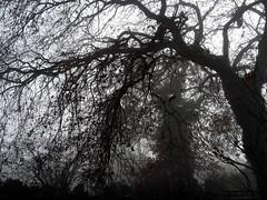 intreccio di rami nella nebbia (sharkoman) Tags: trees mist fog alberi toscana nebbia bosco sharkoman