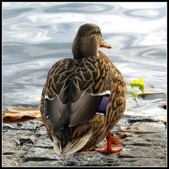Looking for her Sweetheart - Mallard Duck (Batikart) Tags: park autumn winter brown lake macro reflection bird fall nature water animal closeup fauna canon germany square geotagged deutschland see duck interestingness pond wasser europa europe stuttgart expression wildlife herbst natur waterbird f100 explore braun glimpse makro 2008 teich ente fp frontpage spiegelung canard anasplatyrhynchos tier vogel canonpowershot a610 badenwrttemberg swabian anatidae wasservogel eckensee weiblich stockente canonpowershota610 mimik femalemallard 100faves i500 explorefrontpage 200faves federvieh specanimal viewonblack 300faves batikart obererschlossgarten schwimmente gnsevogel bestcapturesaoi