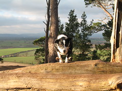 Katie in action (The Hermit of Hanmer) Tags: blackandwhite dogs jumping shropshire action bordercollie nesscliffe