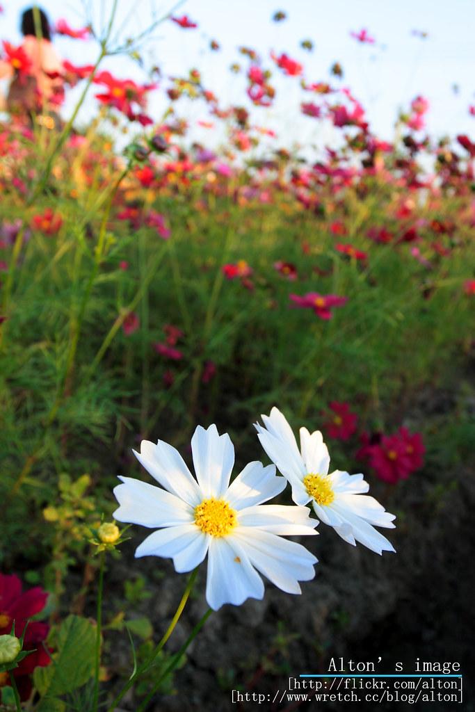 chiaoto の花