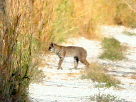 Bobcat 20090102