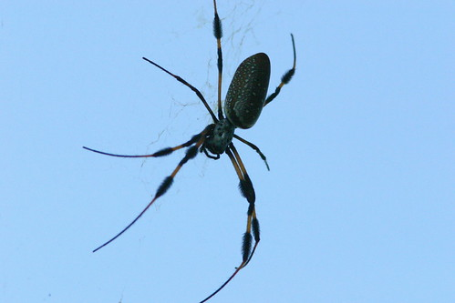 Nephila clavipes - Golden Silk Orb Weaver