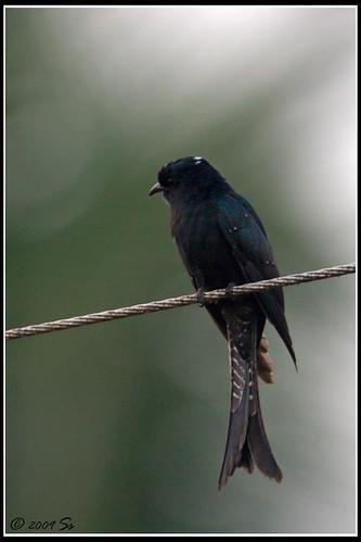 Drongo cuckoo @ Karkala