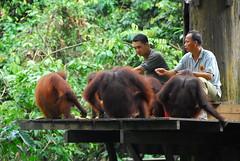 Feeding Time at Sepilok Orangutan Sanctuary