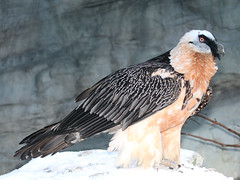 Bartgeier / Lämmergeier  / Bearded Vulture (Gypaetus barbatus) (Sexecutioner) Tags: portrait bird nature birds animal animals digital canon germany zoo colorful hessen frankfurt wildlife natur vulture vögel 2009 bearded vogel frankfurter quebrantahuesos lammergeyer פרס zoofrankfurt barbatus bartgeier lammergeier beardedvulture gypaetusbarbatus lammergier gypaètebarbu lämmergeier бородач lammgam gypaetus partakorppikotka quebraossos goldgeier knochenbrecher trencalòs orłosęp avvoltoiobarbuto ©copyrightsexecutioner bartadler bartfalk berggeier beinbrecher գառնանգղ brkatiser orlosupbradatý lammegrib lambagammur higewashi ヒゲワシ baardaasvoel baardaasvoël نسرابوذقن frangüesu toğlugütürən барадач брадатлешояд àguilamarina γυπαετόσ quebrahantahuesos habekotkas ugatz ugatza vautourgypaète kostoberina žutoglavakostoberina gamörn 수염수리 shkabamjekëroshe ბატკანძერი