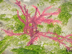 Red Algae and Green Algae