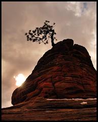 My Favorite Pinon Pine (Gumpher (Adam Christensen)) Tags: pine zion redrock pinon