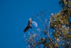 Fly me to the moon... (Images by John 'K') Tags: california moon landscape fremont explore photoaday vulture february 2009 tranquil missionpeak turkeyvulture ebrpd johnk explored ebparks anawesomeshot missionpeakregionalpreserve d40x ebparksok johnkrzesinski randomok