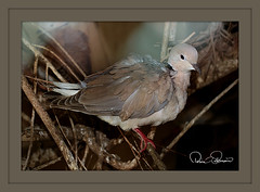 dove (TARIQ HAMEED SULEMANI) Tags: nature dove wildlife tariq abigfave concordians sulemani jahanian