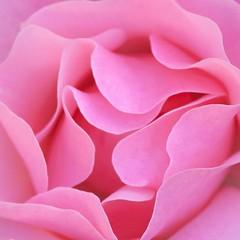 Rose petals (manu4971) Tags: pink flowers roses france flower macro nature fleur up rose closeup fleurs canon garden eos 350d petals flora europe close flor maine jardin rosa sigma topc100 105 loire soe topv100 flore angers maineetloire végétation anjou paysdelaloire sigma105mm lacdemaine petales