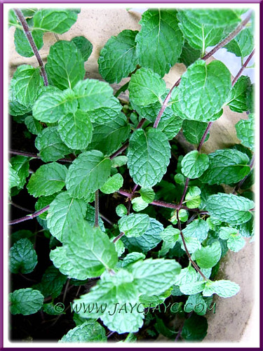 Mentha spicata (Spearmint or English Mint) at our backyard, May 29 2011