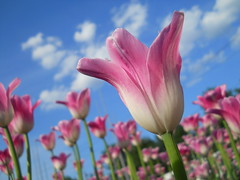 Pink tulips (Olga Oslina) Tags: pink flowers summer plants flower color macro nature beautiful closeup catchycolors nikon 500v20f russia 10 siberia showroom tulip ie passionflower soe musictomyeyes pinkflowers colorandcolors pinktulips doublefantasy greatphotographers floralfantasy 10favorites perfectbeauty beautifulcapture naturesgallery artistoftheyear themagiceye thebeautyofnature flickraward fascinatingnature outstandingimages exploreunexplored mosfotogarten flowersandorcrystals worldofflowers exquisiteimage auniverseofflowers awesomeblossoms ohnonotanotherflower pinkisbeautifulandsensual addictedtonature unforgettableflowers lizasenchantingphotogarden dreamsilldream winnerstop seeawonder flickraward5 thebestofunforgettableflowers diamondnaturestyle diamondbluenaturestyle artphotographerssalon onlythebestofnature flickrawardgallery blinkagain floorprimus showroomsbest beautifulcolorfulworld bestofblinkwinners artistoftheyearlevel3 floorsecundus artistoftheyearlevel4 veryamazingphotosofnature flickrawardlogo artistoftheyearlevel5 artistoftheyearlevel7 artistoftheyearlevel6 olgaoslina oslina