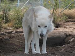 Wolfdog (Wolfwood)
