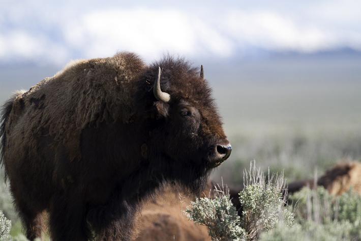060911_buffalo02