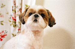 """i turn 4 today!"" (* tathei *) Tags: birthday city dog pet cute film japan tokyo march anniversary 14 shihtzu 4th natura s fujifilm uta klasse n1600 utamaru"