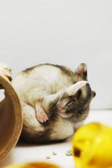 Advanced Yoga (EricFlickr) Tags: pet pets cute animal animals yoga taiwan hamster hammy 倉鼠 animalyoga